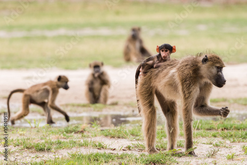 Young baby baboon on moms back Canvas Print