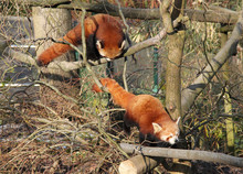 Two Cute Red Pandas Climbing Together In The Branches