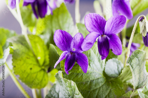 Violets in a bunch Poster