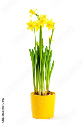Deurstickers Narcis Narzissen