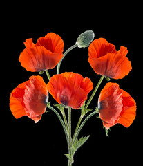 Panel Szklany Maki Papaver orientale (Oriental poppy) . isolated