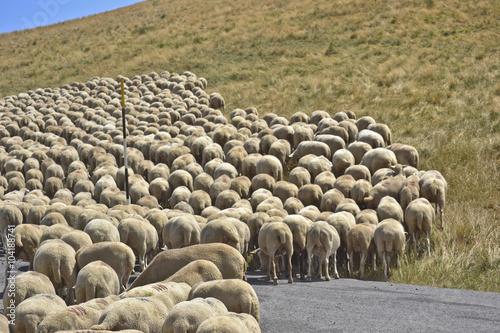 Foto op Aluminium Xian Gregge di pecore