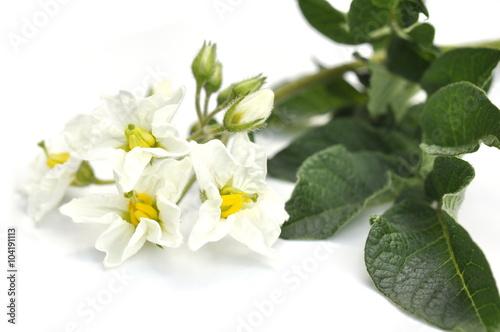 Fotografie, Obraz  White flowers on a potato plant isolated on white background