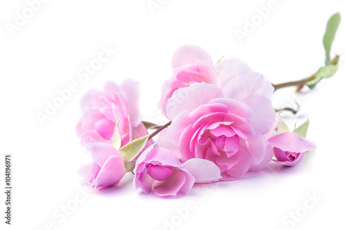 Juliste  Pink rose flowers isolated on white background