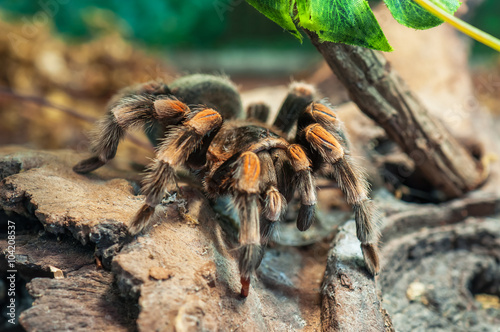 mexican redknee tarantula Canvas