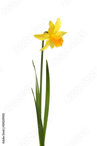 Staande foto Narcis Single Daffodil flower