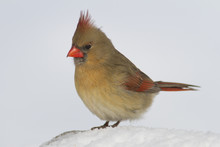 Female Northern Cardinal Bird Standing On The Ground Covered In White Snow