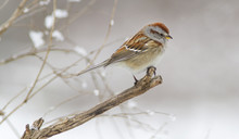 American Tree Sparrow Bird On A Tree Branch With Falling Snow In The Background