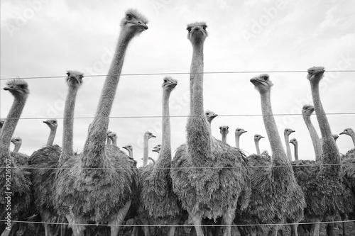 Stickers pour portes Autruche ostriches in a south african's farm