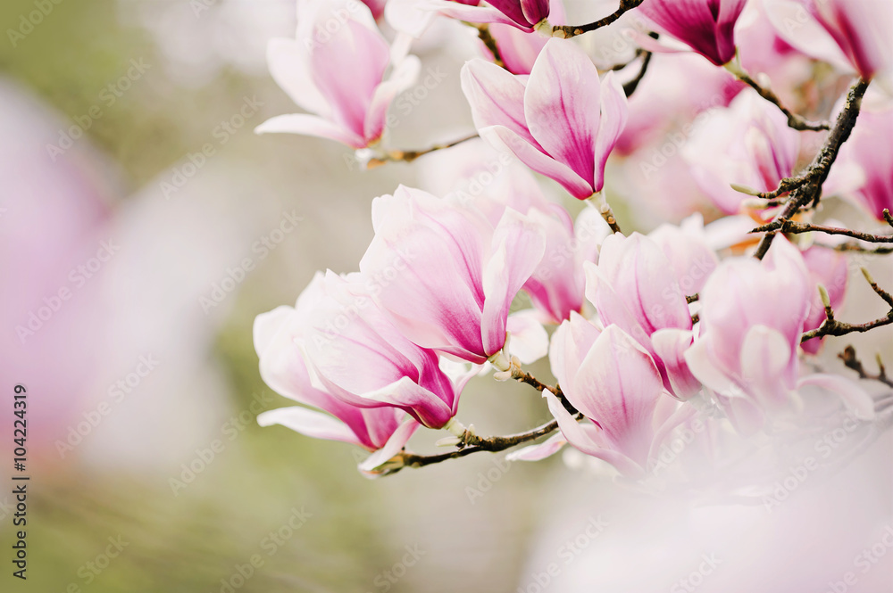 Foto  beautiful magnolia tree