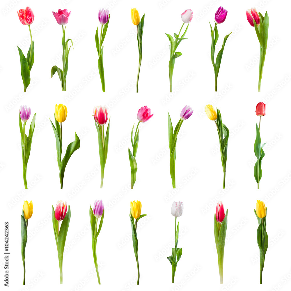 Set of Tulip Flowers Isolated