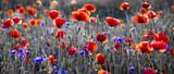 Fototapeta Papavers - Panorama czerwonych maków i błękitnych chabrów bławatków