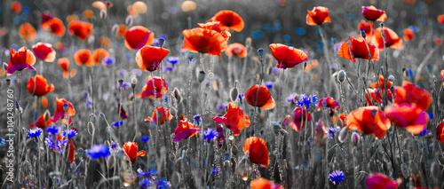 Fototapeta Panorama czerwonych maków i błękitnych chabrów bławatków obraz