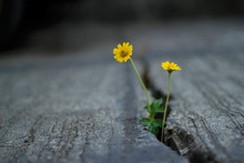 Yellow Flowers Growing In Crac...