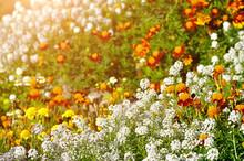 Lobularia Maritima And Calendula Flowers In The Field Lit By Warm Sunlight