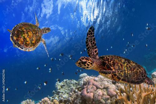 Photo  Maldivian Sea Turtle Floating