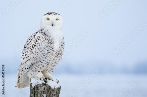 Foto op Aluminium Uil Snowy Owl, Bubo Scandiacus