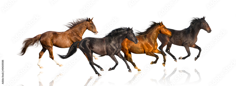 Fototapety, obrazy: isolate of four galloping horse on the white background