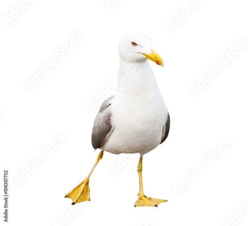 Sea gull, isolated on white background