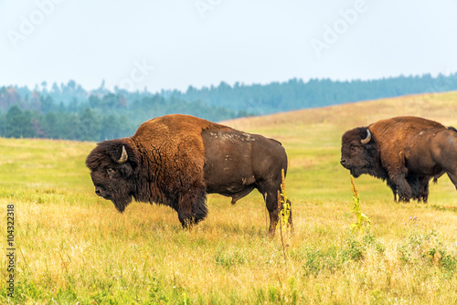 Two bison in Custer State Park, South Dakota