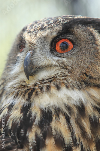 Poster Aigle フクロウの顔