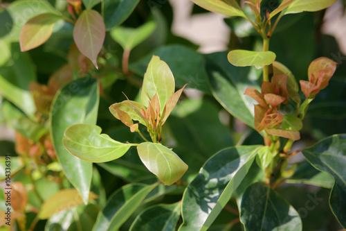 Slika na platnu Leaf of Cinnamomum camphora tree