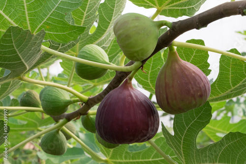 Stampa su Tela Figs on the branch of a fig tree