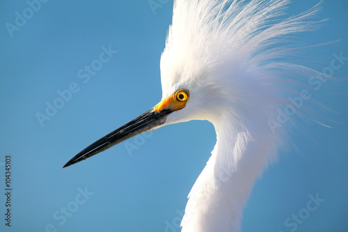 Photo  Portrait of Snowy egret