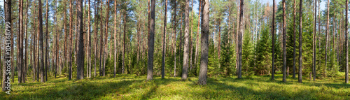 Foto op Aluminium Bos Summer conifer forest panorama