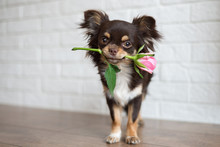 Chihuahua Dog Standing With A ...