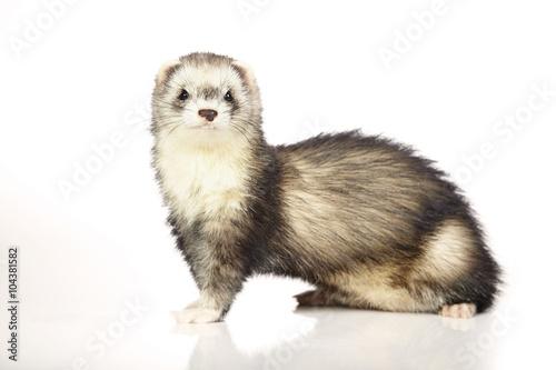 Stampa su Tela Othe patterns color ferret female on white background in studio