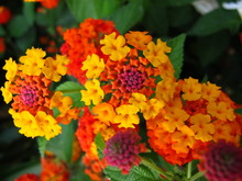 Close Up West Indian Lantana Flowers