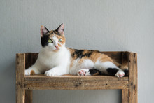 Cute Calico Cat Sitting And Lo...