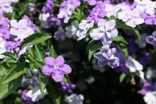 Closeup Of Brunfelsia Uniflora...
