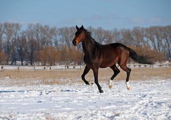 A  purebred  dark bay stallion gallops on snow field