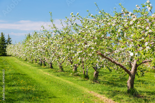 Fotografija  Springtime apple orchard at the peak of bloom.