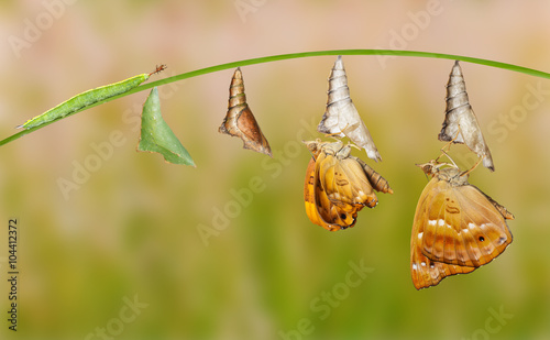 Canvas-taulu Life cycle of female black prince butterfly