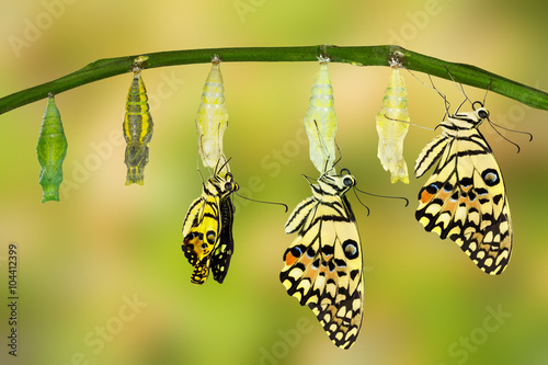 Fotografie, Obraz  Transformation of Lime Butterfly
