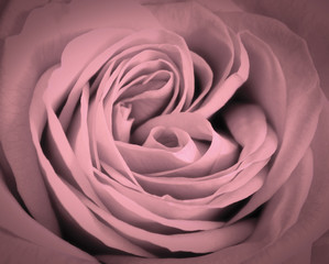 FototapetaPink rose close-up background. Romantic love greeting card