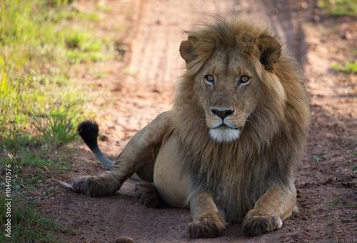 Fototapety, obrazy: Lion on the savannah road in morning light