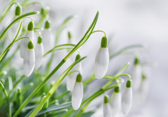 Panel Szklany Kwiaty Snowdrops