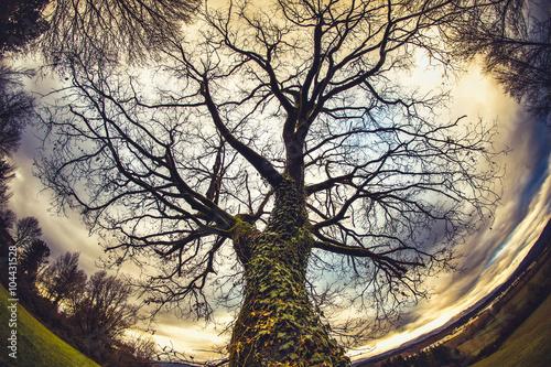 Fotografie, Obraz  A winter tree in the Tuscan countryside seen by fisheye