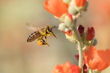 Pollen Covered Honeybee Flying To Desert Mallow Flower