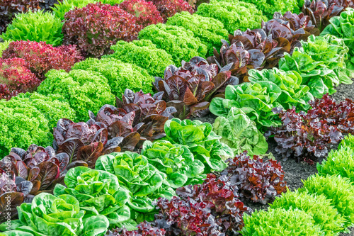Fotografía Colorful fields of lettuce, including green, red and purple varieties, grow in rows in the Salinas Valley of Central California