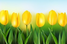 Yellow Tulips On Background Blue Sky