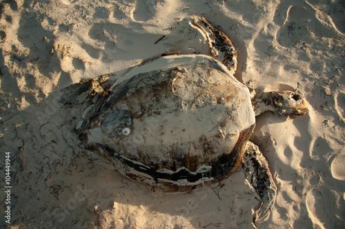 Photo  Tortuga muerta en la playa desde arriba