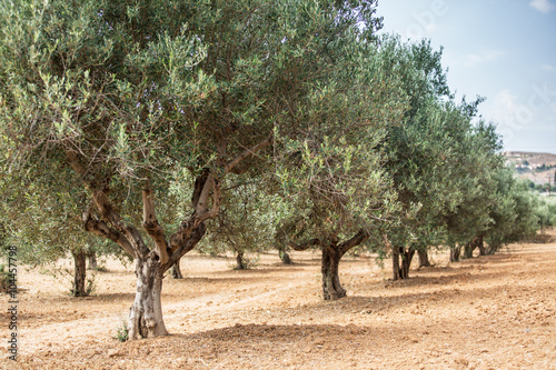 Photo sur Aluminium Oliviers Olive trees garden.