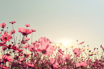 Fototapeta Pink of cosmos flower field. Sweet and love concept - vintage nature background