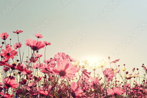 Fototapety, obrazy: Pink of cosmos flower field. Sweet and love concept - vintage nature background
