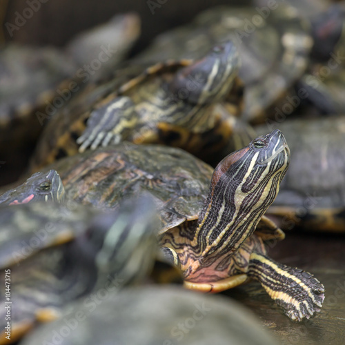 Poster Tortue Many red eared slider turtles sitting on rock